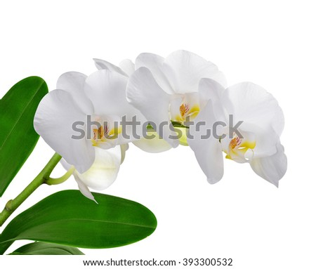 Closeup of a white orchid isolated on white background