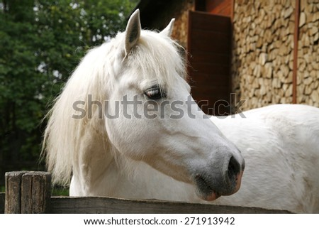Closeup of a white pony horse. Pony looking over the corral door. Side view head shot of a gray pony horse