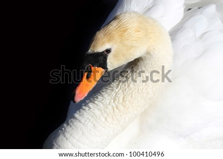 Closeup of a white swan against black background - stock photo
