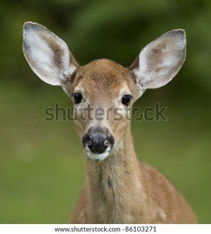 Closeup of a whitetail deer fawn with its spots starting to fade