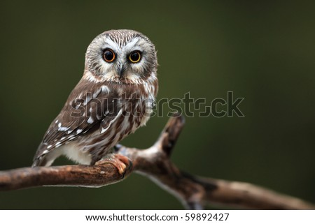 Closeup of a wide-eyed Northern Saw-Whet Owl. - stock photo
