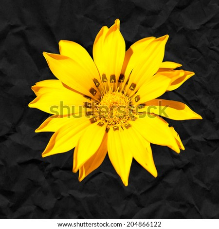 Closeup of a yellow flower against a black paper background. - stock photo