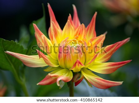 Closeup of a yellow orange colored dahlia flower in a green natural environment  - stock photo