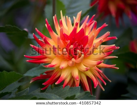 Closeup of a yellow red colored dahlia flower in a green natural environment - stock photo