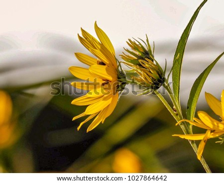 Closeup of a Yellow Wildflower in Sunlight