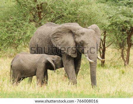 "Closeup of a young African Elephant nursing (scientific name: Loxodonta africana, or ""Tembo"" in Swaheli) taken on Safari  in the Tarangire National park in the East African country of Tanzania"