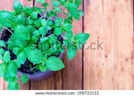 Closeup of a young basil plant with water droplets on a wooden plank rustic farmhouse background - stock photo