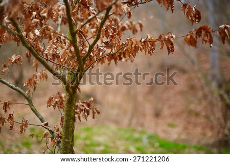 Closeup of a young beech tree with dead leaves, near the forest - stock photo
