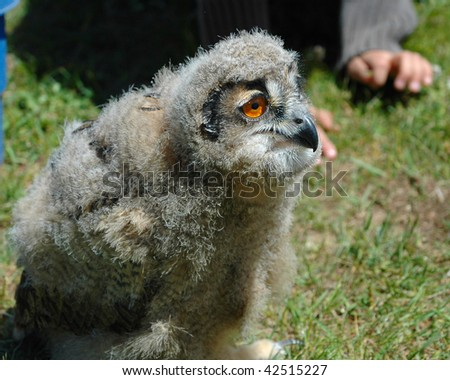 Closeup of a young Eagle Owl