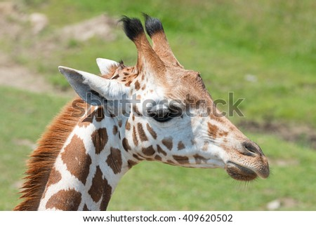 Closeup of a young giraffe in a safari park