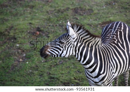 closeup of a zebra