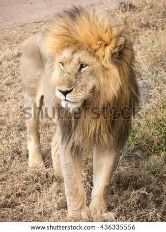 Closeup of Adult Male Lion in Serengeti National Park, Tanzania - stock photo
