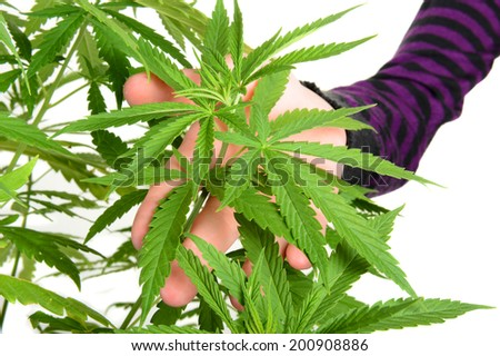 Closeup of af womans hand holding the leaves of a medical marijuana plant. Horizontal format over white. - stock photo
