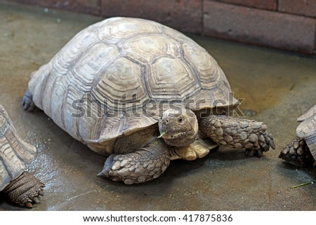 closeup of african spurred tortoise or geochelone sulcata - stock photo