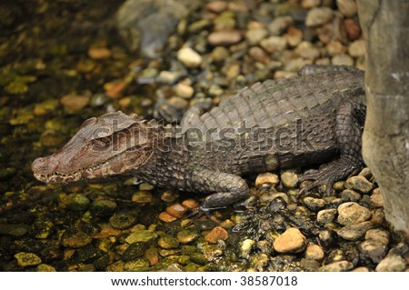 closeup of  alligator in the river - stock photo