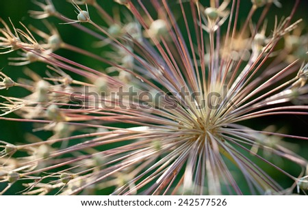 Closeup of Allium Flower - stock photo