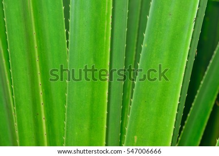 closeup of aloe leaves for wallpaper or presentation