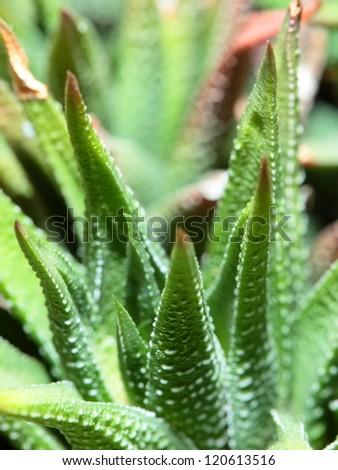 aloe vera plants tropical green plants stock photo 378455260 shutterstock. Black Bedroom Furniture Sets. Home Design Ideas