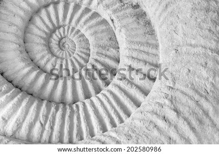 Closeup of ammonite prehistoric fossil on the surface of the stone. - stock photo