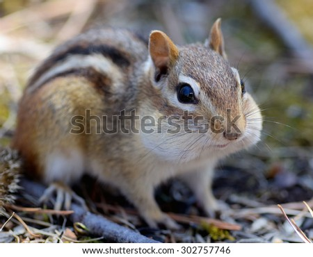 Closeup of an adorable chipmunk with stuffed cheeks - stock photo