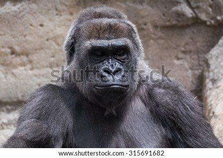 closeup of an adult male gorilla back silver