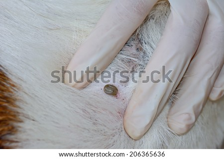 closeup of   an  adult  tick  on   dog fur - stock photo