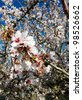 closeup of an almond bloom blossom - stock photo