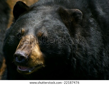 Closeup of an American Black Bear (Ursus americanus). - stock photo