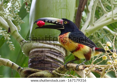 closeup of an Aracari toucan in the rain forest of belize - stock photo