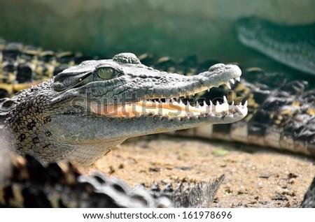 Closeup of an crocodile - stock photo