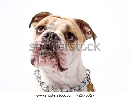 closeup of an english bulldog's face over white background - stock photo