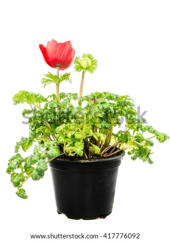 Closeup of an isolated potted red Anemone flower - stock photo