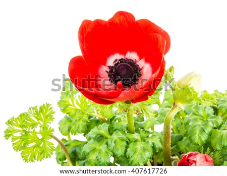 Closeup of an isolated red Anemone flower blossom - stock photo