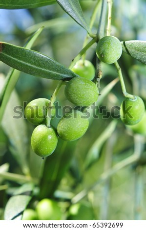 closeup of an olive tree branch before harvesting - stock photo