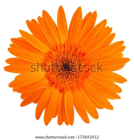 closeup of an orange gerbera daisy on a white background - stock photo