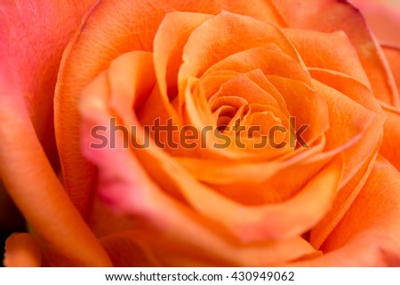 Closeup of an orange rose - stock photo