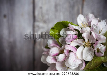 Closeup of apple tree blossoms, gray plank wall at background. Water drops on petals; lens vignetting applied. - stock photo