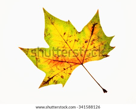 Closeup of Autumn Leaf - Isolated on White - stock photo