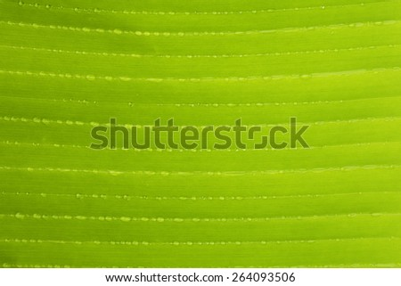 Closeup of banana leaf texture  green and fresh in a park. - stock photo