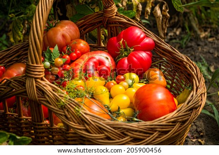 closeup of basket with different types of tomatoes in a garden - stock photo
