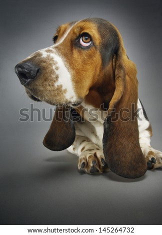 Closeup of Basset hound sitting against background - stock photo