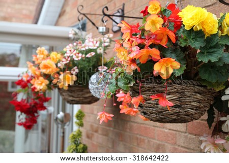 Closeup of beautiful begonia flowers in hanging baskets - stock photo