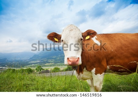 Closeup of beautiful brown cow on the field looking at camera - stock photo