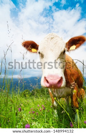 Closeup of beautiful brown cow's snout on the field looking at camera - stock photo