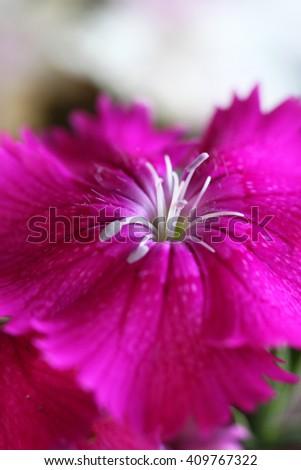 Closeup of beautiful Dianthus flower - stock photo
