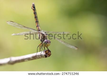 closeup of beautiful dragonflies on a green - stock photo