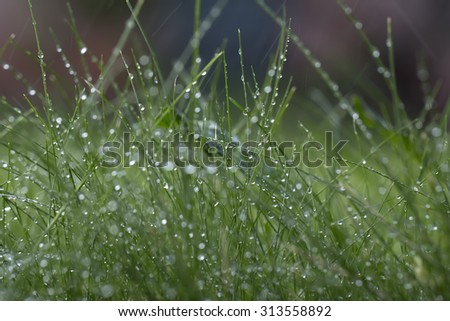 Closeup of beautiful fresh thick lush green young grass with many crystal dew drops outdoor on natural background copyspace, horizontal picture - stock photo