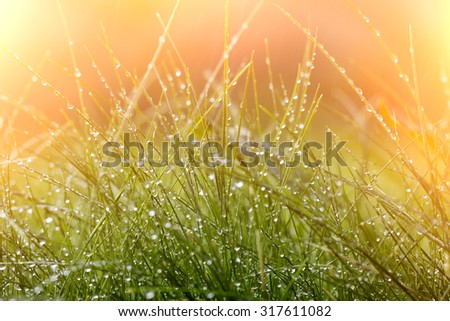 Closeup of beautiful fresh thick lush green young grass with many crystal rain drops sunny day outdoor on natural orange background copyspace, horizontal picture - stock photo