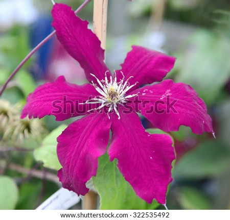 Closeup of beautiful pink Clematis flower surrounded by green leaves - stock photo