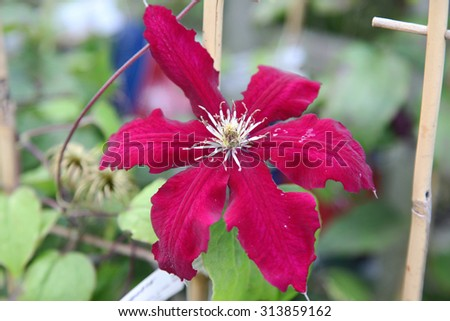 Closeup of beautiful red Clematis flower surrounded by green leaves - stock photo